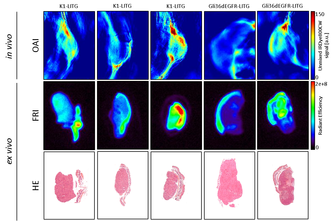 4cfd8a51ae1 Figure 1: Optoacoustic Imaging of MMP Activity in a Aubcutaneous Cancer  Xenograft Model. In vivo Optoacoustic Imaging (OAI) and ex vivo  Fluorescence ...